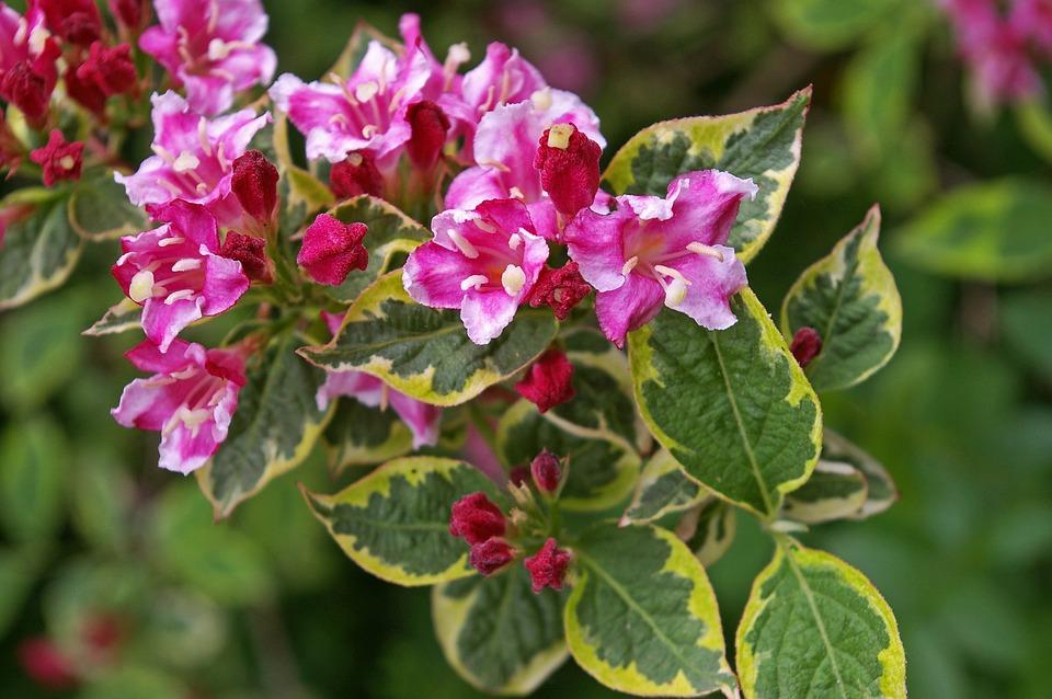 Weigela, Bush, Flowering Shrub, Bi Color, Garden