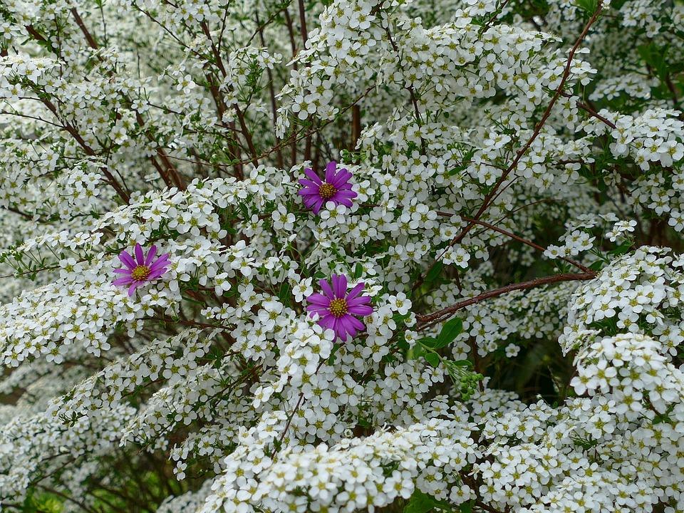 Free photo bush white flowers prachtspiere flower purple max pixel prachtspiere flower purple white flowers bush mightylinksfo
