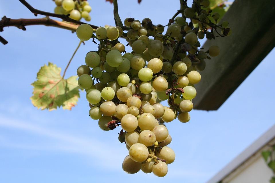 Grape, White, Bush, Vitis