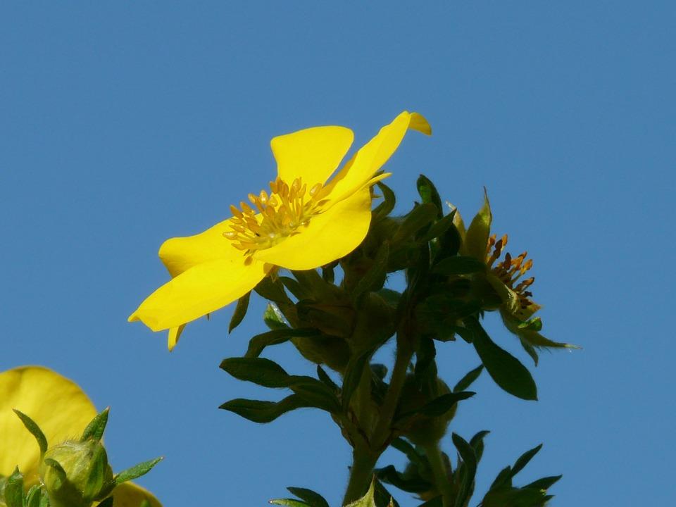 Blossom, Bloom, Yellow, Finger Shrub, Bush