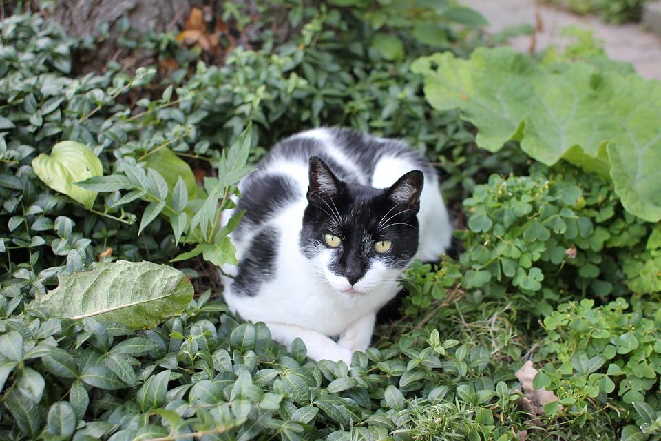 Cat, Black, White, Garden, Bushes, Animal, Feline, Pet