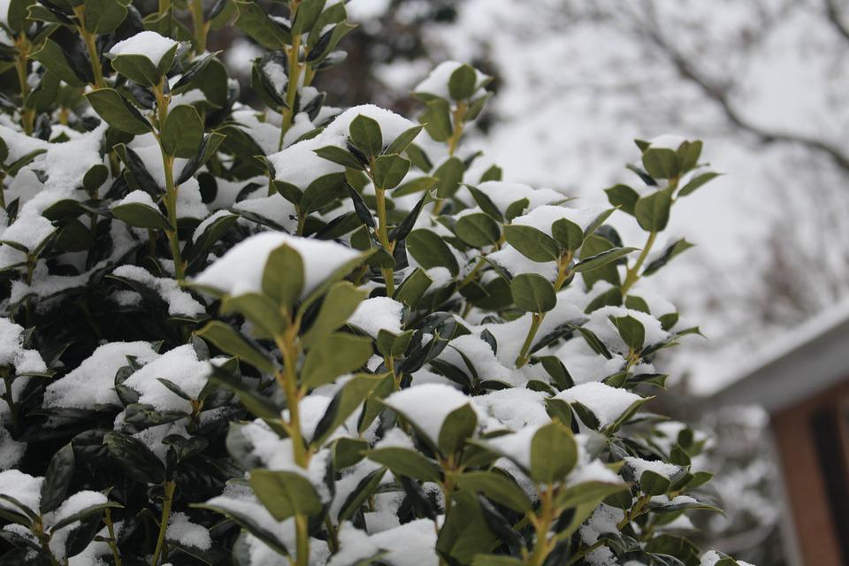 Snow On Bushes, Bushes, Winter