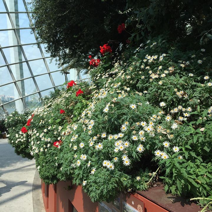 Singapore, Garden, Flower, Bushing, Daisy, White