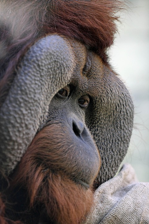 Orang Utan, Ape, Zoo Osnabrück, Bushman