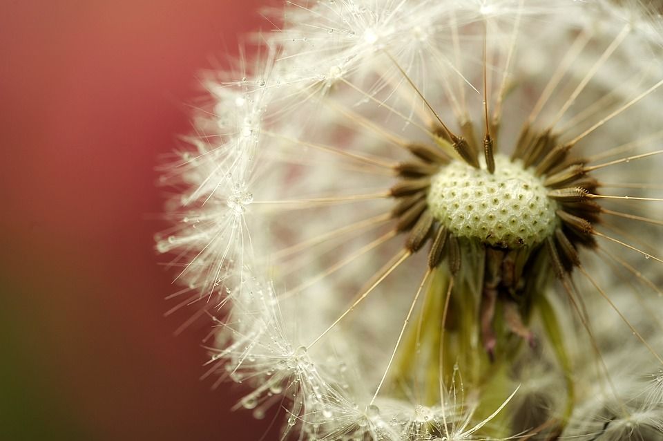 Dandelion, Buttercup, Garden, Drip, Macro, Close Up