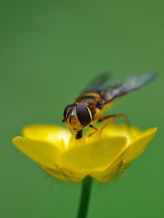 Hoverfly, Insect, Forage, Buttercup, Macro