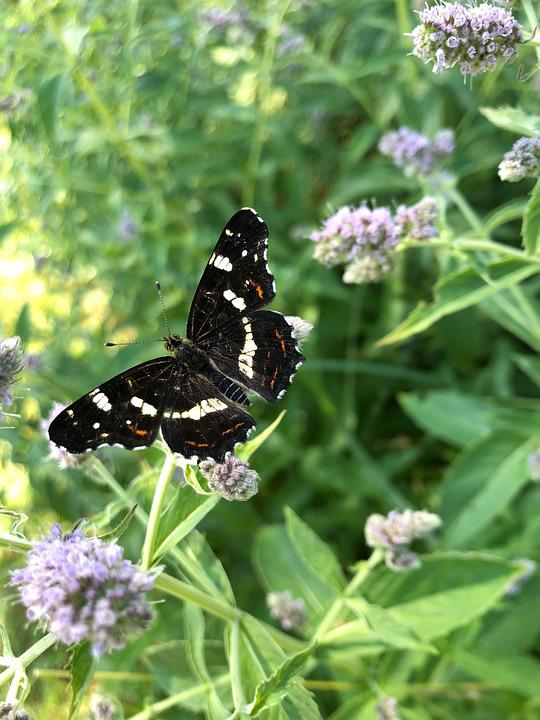 Butterfly, Butterflies, European Map, Water Mint