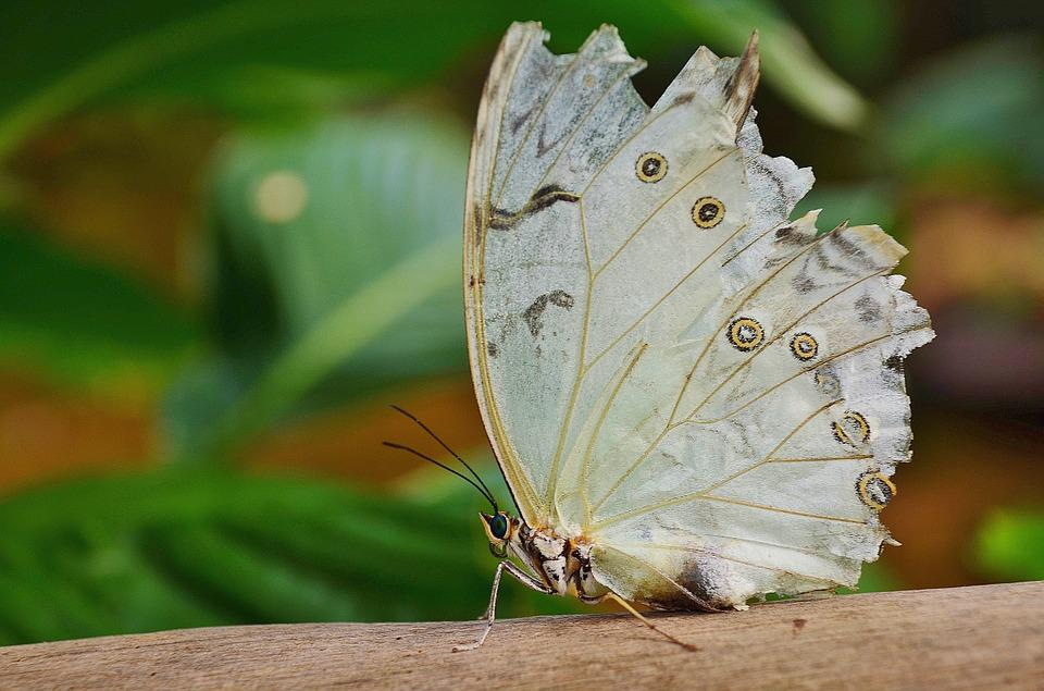 White, Morpho, Peleides, Butterfly, Butterflies, Insect