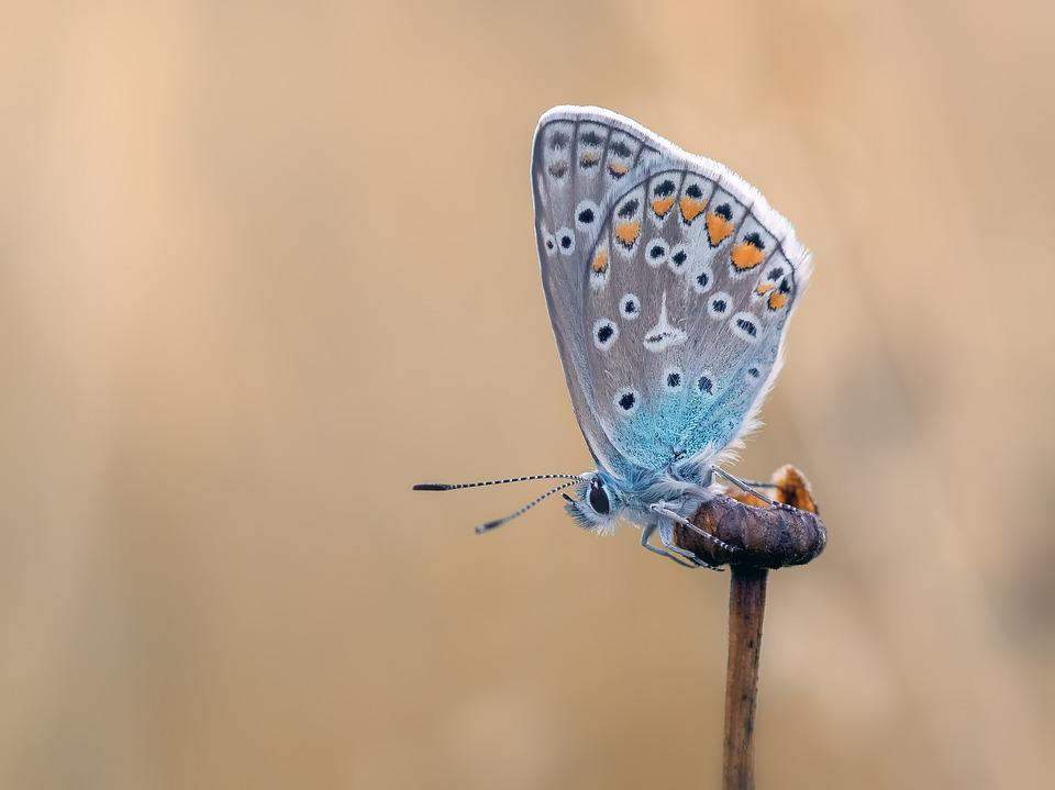 Butterfly, Common Blue, Butterflies, Lycaenidae, Wing