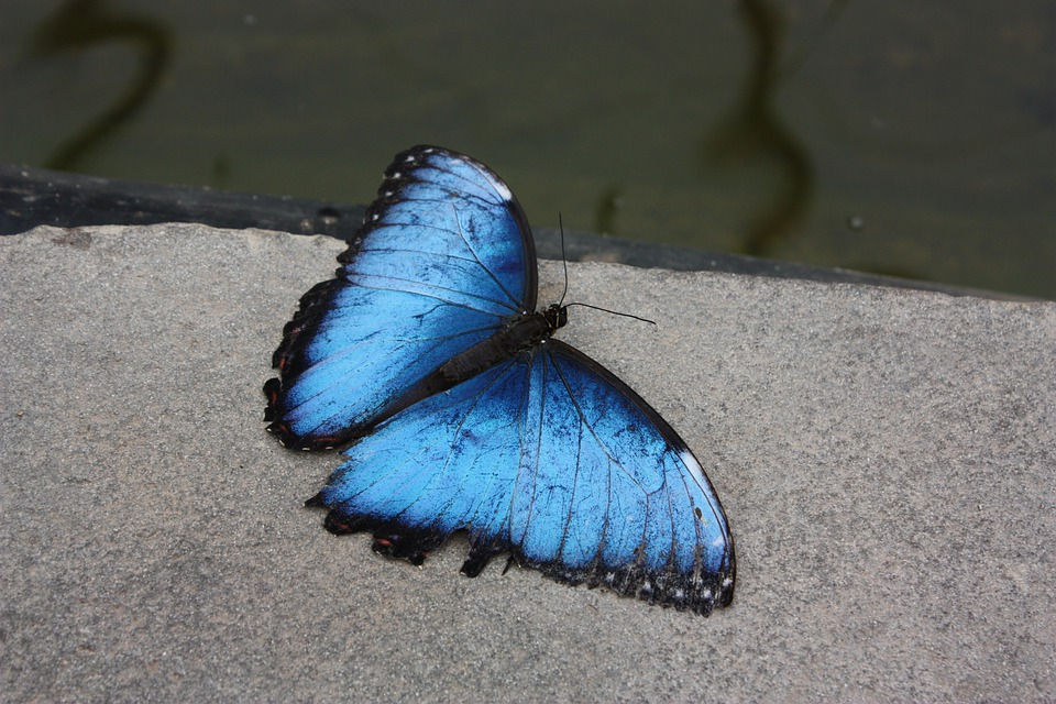 Butterfly, Butterflies, Flying Insect Blue, Insect