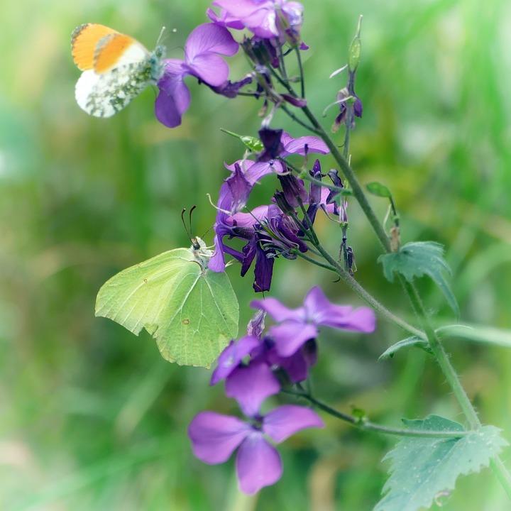Butterflies, Gonepteryx Rhamni, Aurora Butterfly