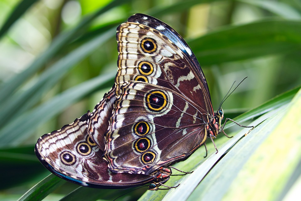 Fauna, Insects, Coleoptera, Butterflies, Mating