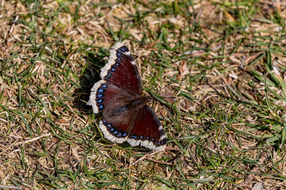Butterfly, A Mourning Cloak, Edelfalter, Brown, Blue