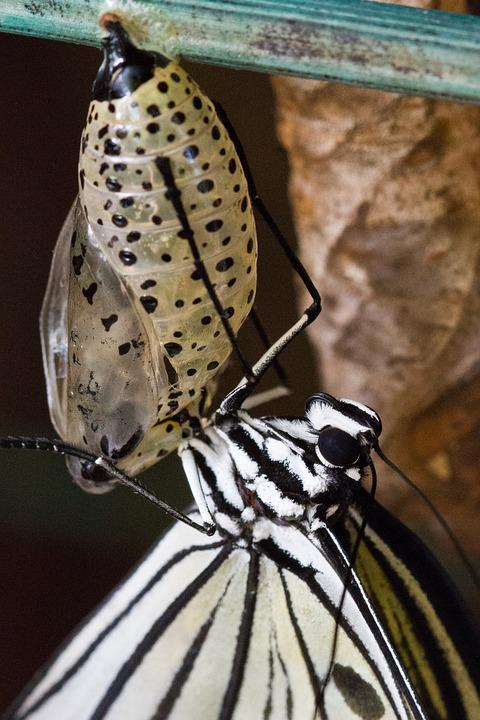 Butterfly, Chrysalis, Pupa, Insect, Animal, Bug