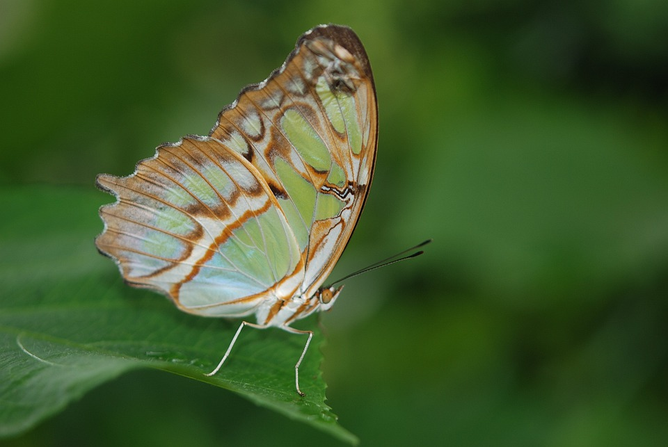 Siproeta Stelenes, Malachite, Animal, Insect, Butterfly