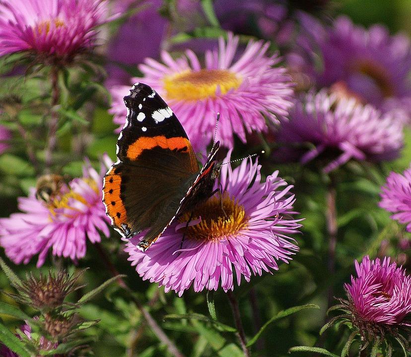 Butterfly, Astra, Rusalka, Garden, Nature