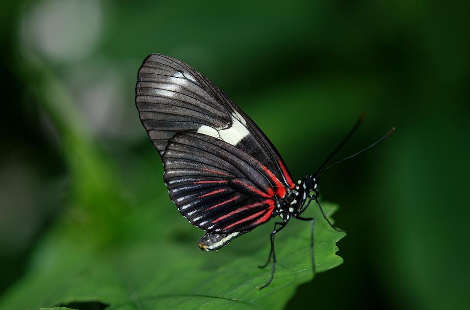 Papilio Rumanzovia, Butterfly, Animal, Black, Green