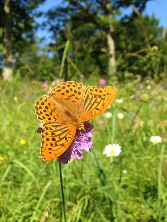 Butterfly, Blossom, Bloom, Summer, Sweden, Meadow
