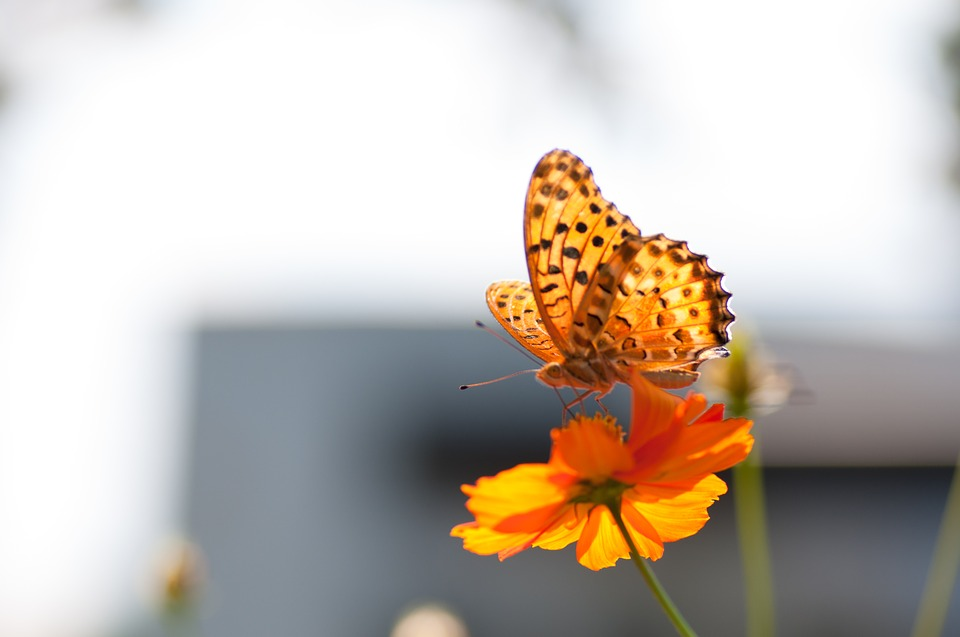 Butterfly, Cosmos, Blurred, A Common Yellow Swallowtail