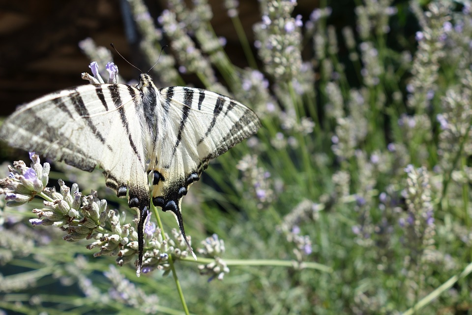 Butterfly, Nature, Bug, Black White, Garden