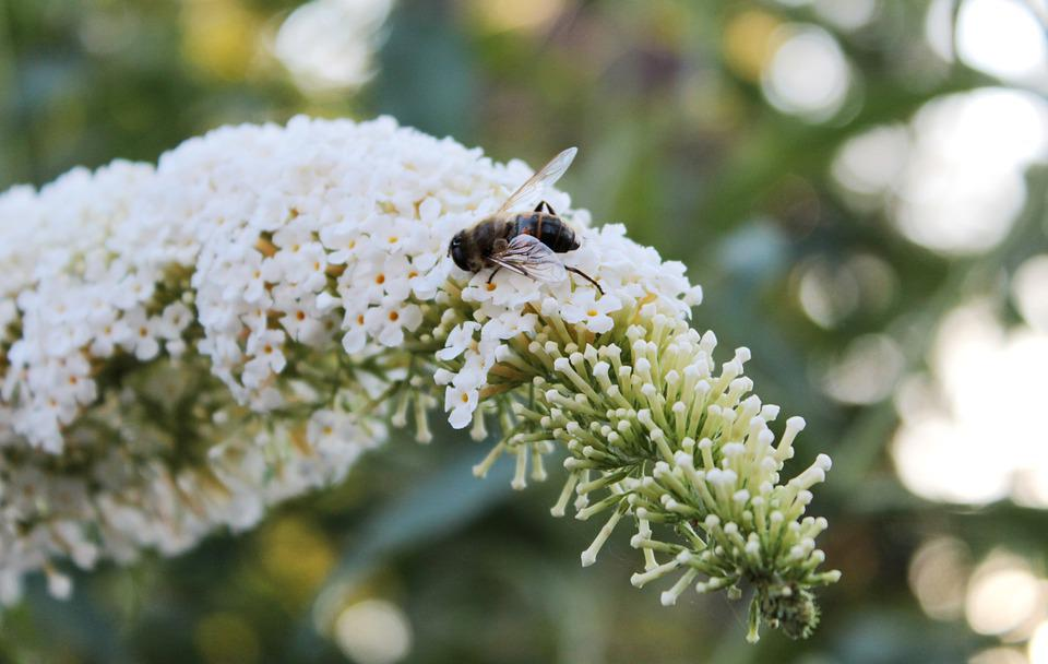 Buddleja, Butterfly Bush, Bug, Summer, Flower, Wing