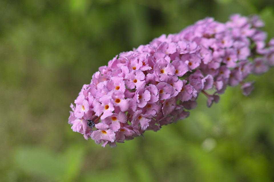 Flowers, Plant, Tightly, Butterfly Bush, Fujiutsugi