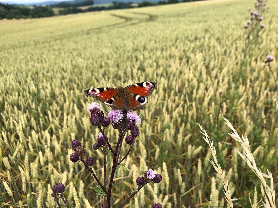 Butterfly, Butterflies, Peacock, Cornfield, Thistle