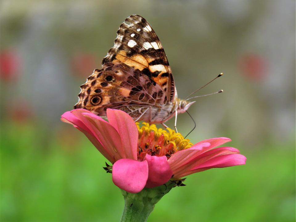 Butterfly, Butterfly On Flower, Butterfly Feeding