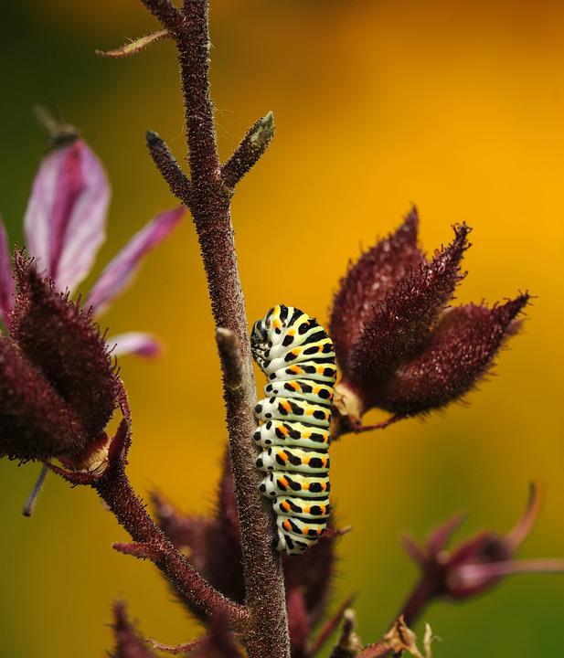 Caterpillar, Butterfly, Dovetail, Macro, Close, Nature