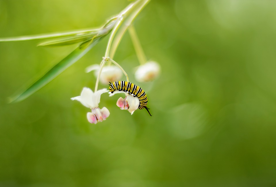 Monarch, Butterfly, Insect, Nature, Cocoon, Caterpillar