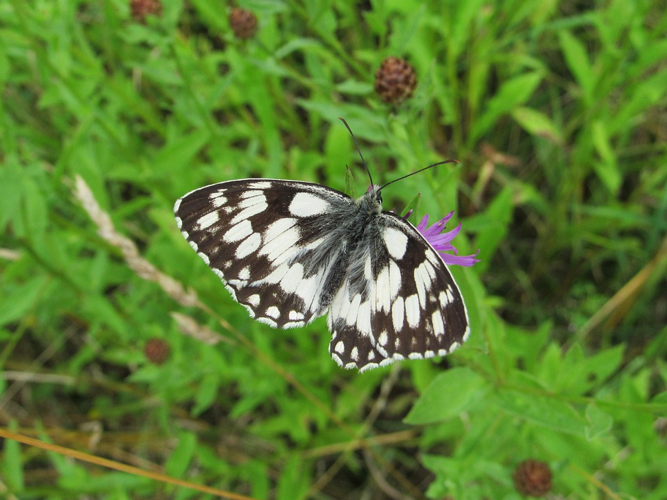 Checkered Butterfly, Butterfly, Pollinate, Flower