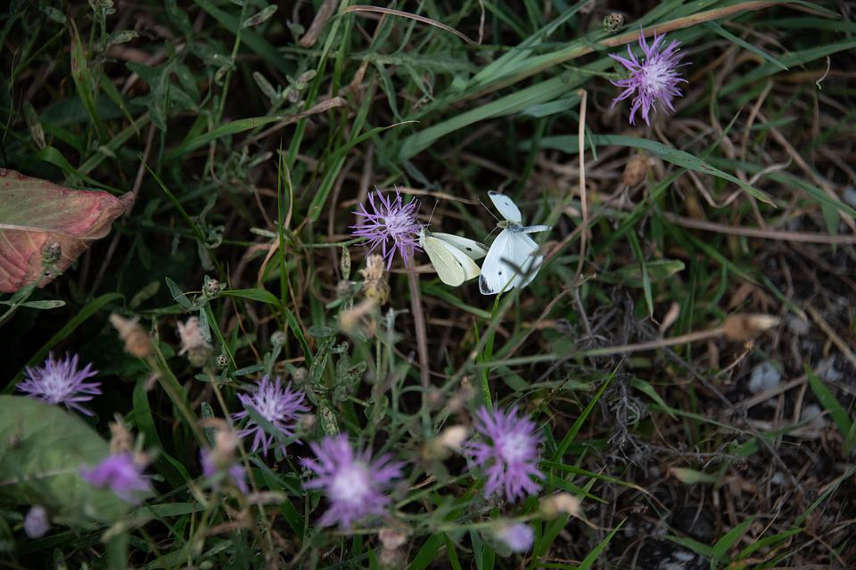 Little Yellow, Butterfly, Coliadinae, Insect, Plant