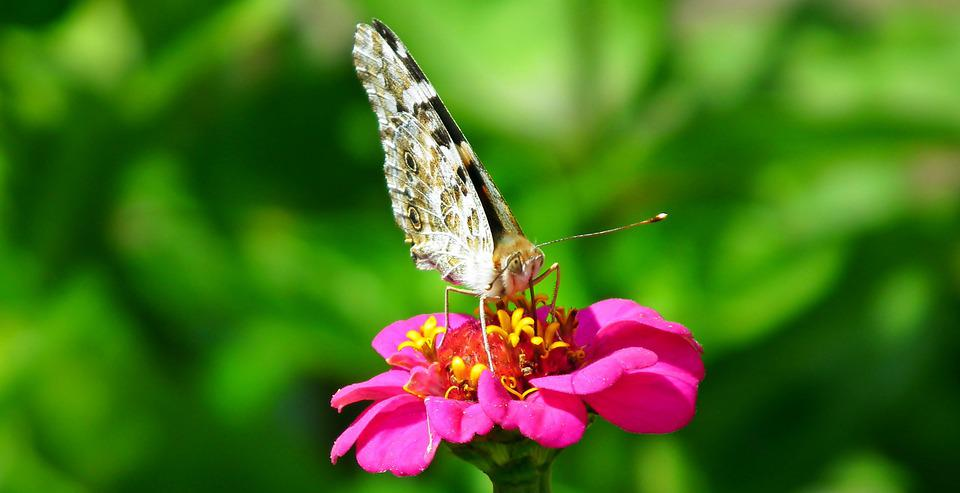 Butterfly, Insect, Flower, Zinnia, Colored, Nature