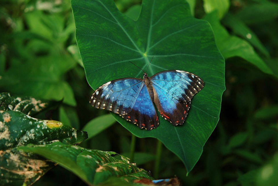 Animal, Beautiful, Blue, Butterfly, Colorful, Delicate