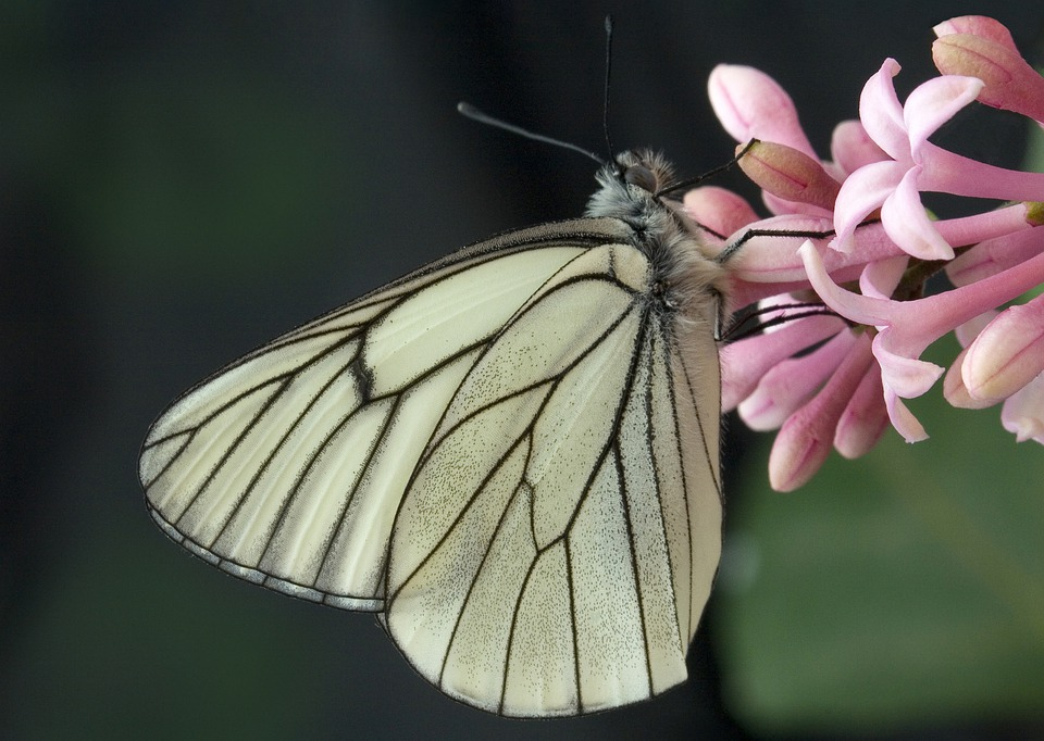 Black-veined-white, Butterfly, Summer, Colorful, Nature