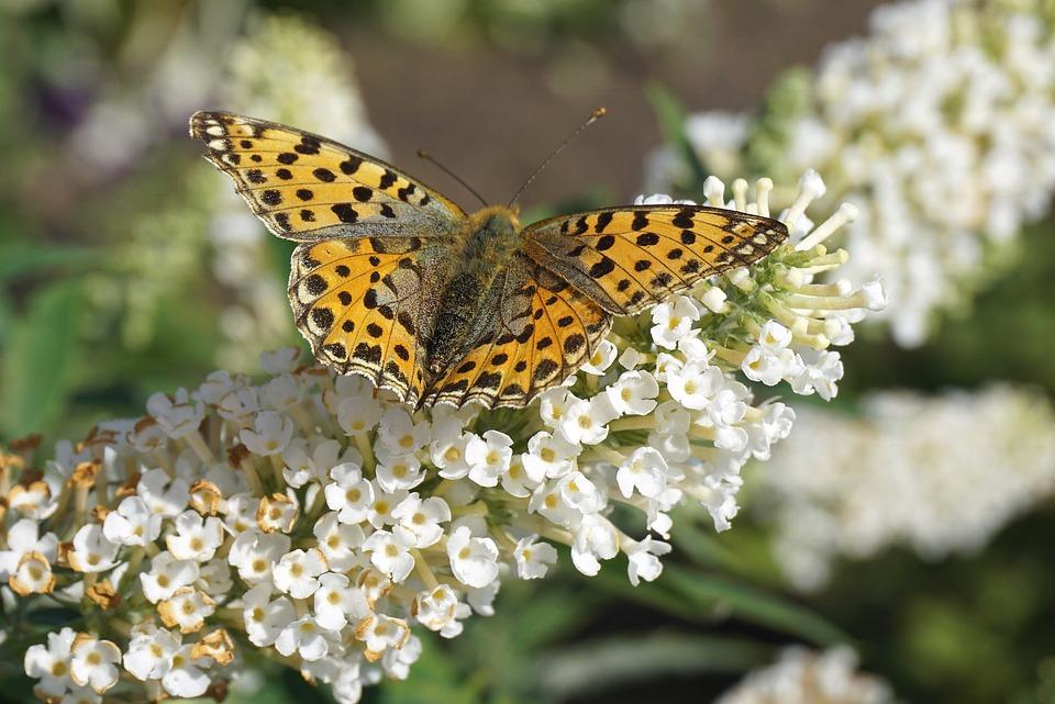 Dark Green Fritillary, Flowers, Pollination, Butterfly