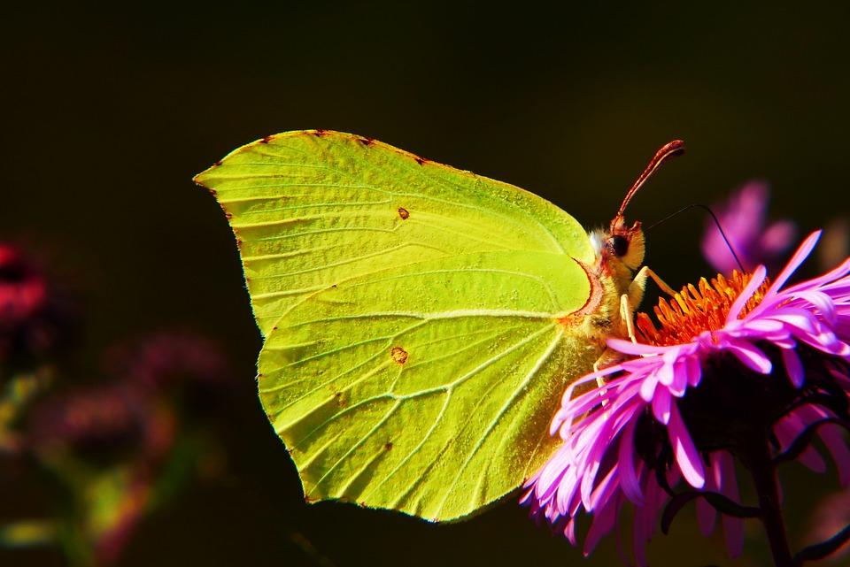 Latolistek Sulphur Butterfly, Insect, Butterfly Day