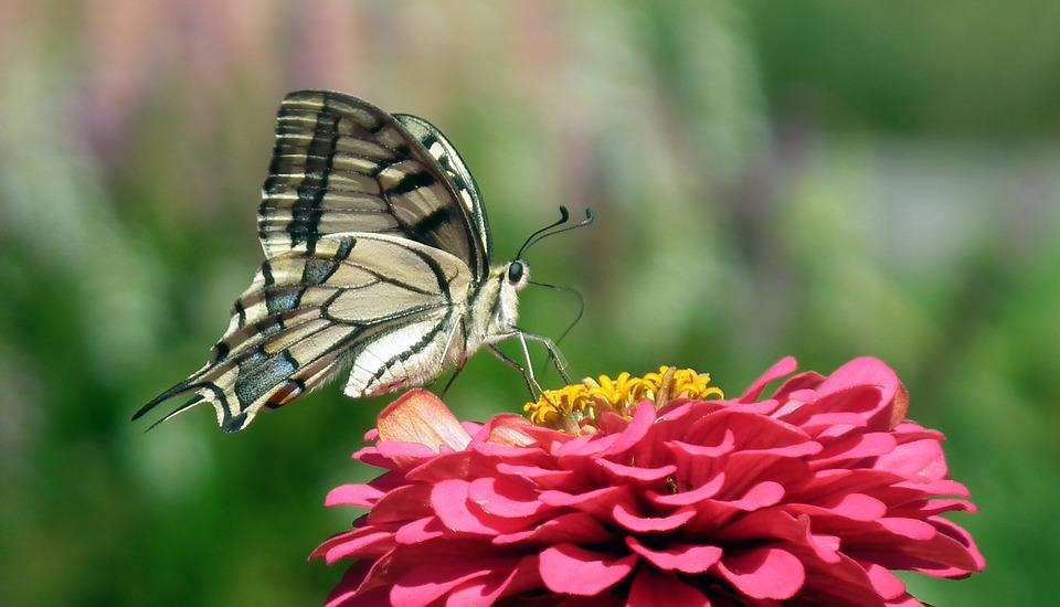 Nature, Butterfly Day, Paż Queen, Insect, Flower