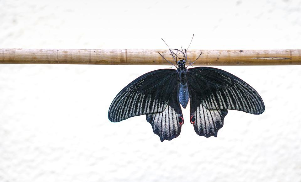 Butterfly, Filigree, Symmetry, Rest, Edelfalter