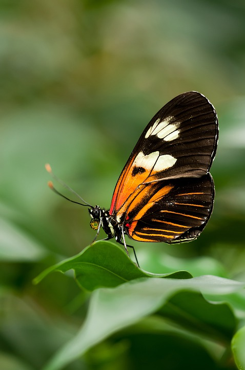 Heliconius, Melpomene, Butterfly, Exotic