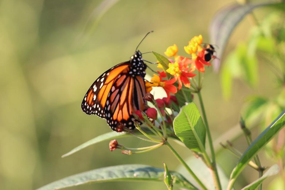 Butterfly, Nature, Fauna, Garden