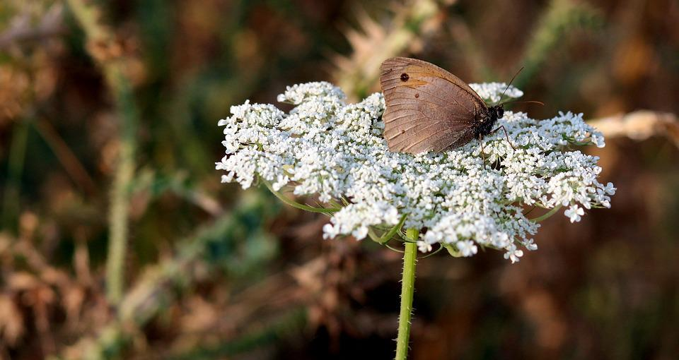 Butterfly, Flower, Brown, Insecta, Nature