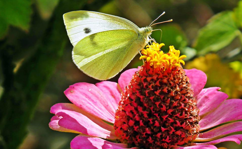 Butterfly, Insect, Flower, Large White