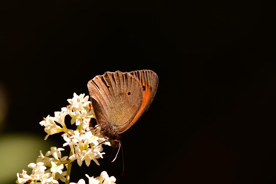 Butterfly, Flower, Nature, Animal, Insects, Ali
