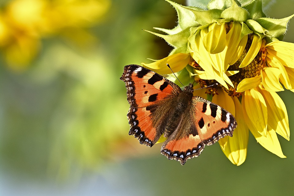 Butterfly, Sunflower, Flower, Insect, Nature