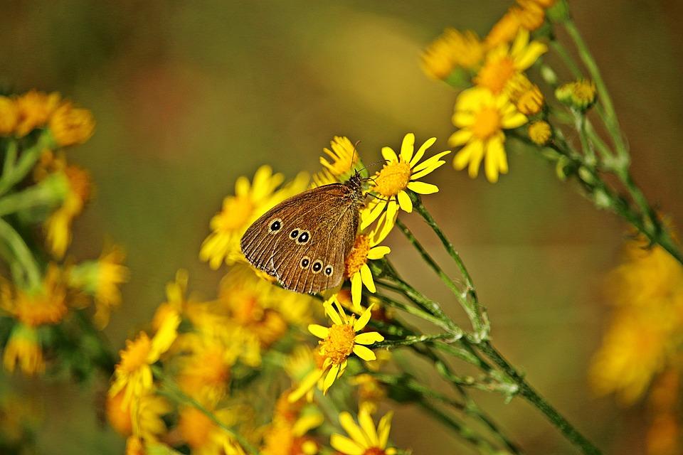 Butterfly, Ragwort, Flower, Brown Forest Bird