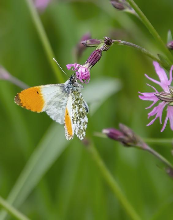 Orange Tip Butterfly, Butterfly, Flower, Wings