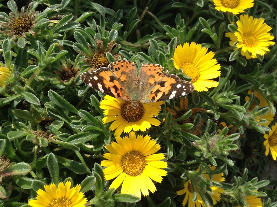 Butterfly, Flowers, Insect