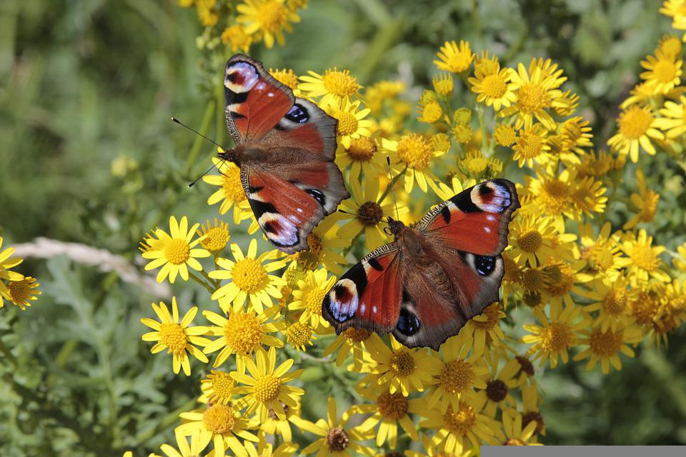Butterfly, Nature, Insect, Flowers, Animal, Butterflies