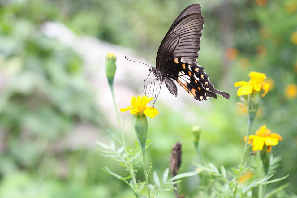 Butterfly, Flowers, Pollination, Insect